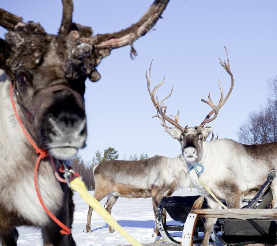 Erlebnisreise nach Finnland - Rentierfarm